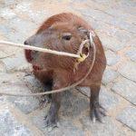 Capivaras, jiboia e ouriço-cacheiro são capturados pela Guarda Ambiental em SJB
