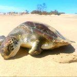 Tartaruga encontrada morta em Atafona