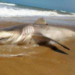 Tubarão encontrado morto em praia de SJB