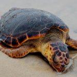 Mais uma tartaruga é encontrada morta em SJB