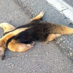 Outro tamanduá é encontrado morto na BR 356, em SJB