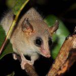 Marsupial raro é encontrado em Campos dos Goytacazes